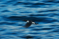 Thick-billed Murre (Uria lomvia) in Svalbard