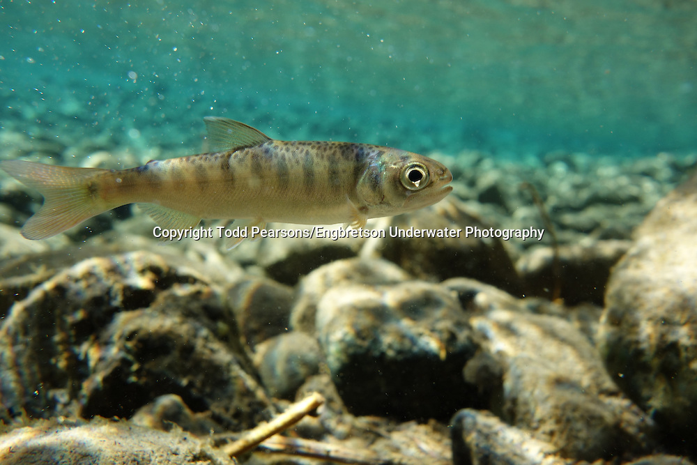 Coho Salmon (juvenile)<br /> <br /> Todd Pearsons/Engbretson Underwater Photography