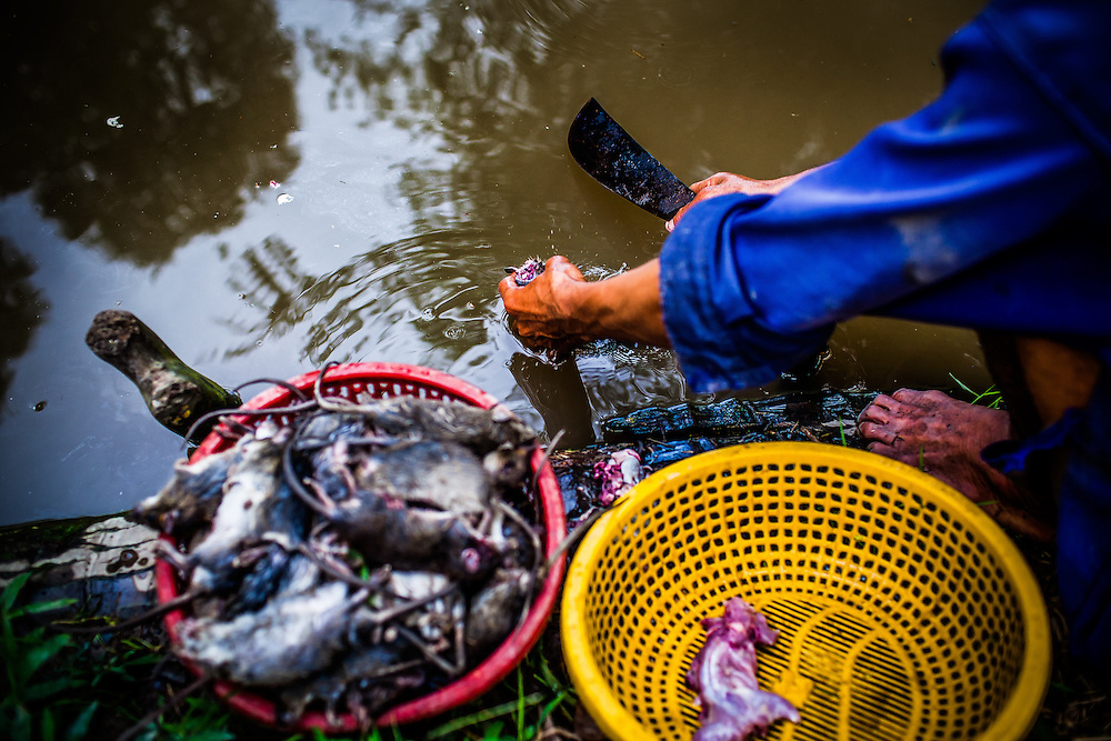 Rats are beheaded, skinned and washed in a canal in the Mekong Delta. Their meat is considered a delicacy in this region of Vietnam.