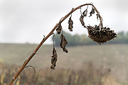 ripe brown sunflowers left behind after mechanical harvesting France