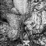 Limited edition photograph of a uniquely knotted tree trunk.