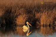 American White Pelican at Freezeout Lake WMA near Fairfield, Montana, USA