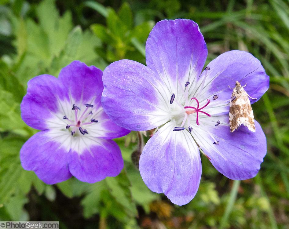 A wild geranium blooms on the Cinque Torri trail, near Cortina d'Ampezzo, Dolomites, Italy, Europe