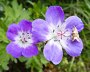 A wild geranium blooms on the Cinque Torri trail, near Cortina d'Ampezzo, Dolomites, Italy, Europe