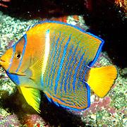 King Angelfish inhabit reefs. Picture taken Galapagos