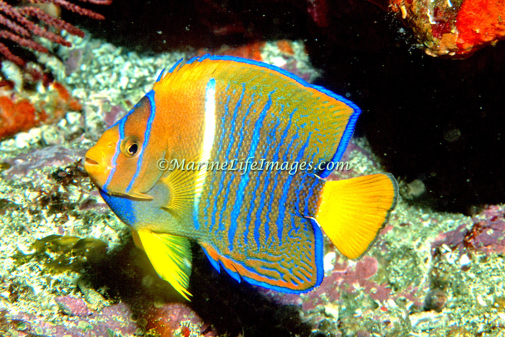 King Angelfish inhabit reefs. Picture taken Galapagos
