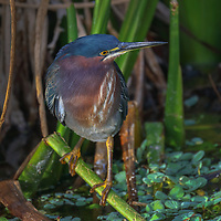 South Florida nature photography from outdoor photographer Juergen Roth showing a stunning image of a Green Heron at Green Cay Wetlands located west of Boynton Beach in Palm Beach County, FL.  <br />