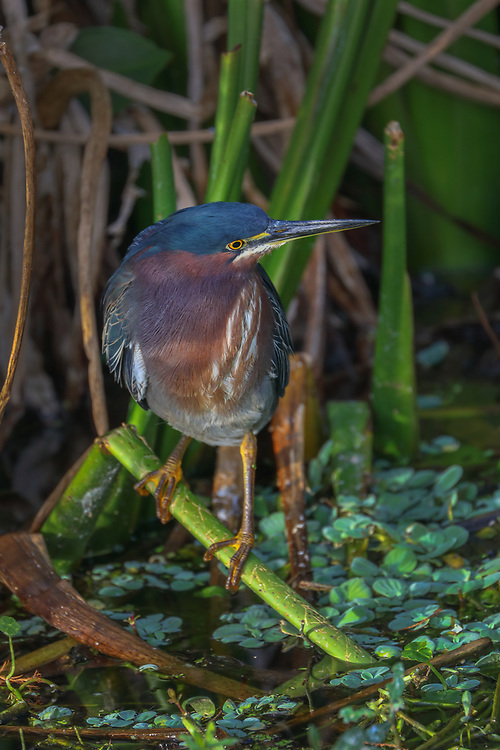 South Florida nature photography from outdoor photographer Juergen Roth showing a stunning image of a Green Heron at Green Cay Wetlands located west of Boynton Beach in Palm Beach County, FL.  <br /> <br /> Green Heron bird photography images from the Green Cay Wetlands area are available as museum quality photo prints, canvas prints, wood prints, acrylic prints or metal prints. Fine art prints may be framed and matted to the individual liking and decorating needs:<br /> <br /> https://juergen-roth.pixels.com/featured/green-heron-juergen-roth.html<br /> <br /> All digital nature photo images are available for photography image licensing at www.RothGalleries.com. Please contact me direct with any questions or request.<br /> <br /> Good light and happy photo making!<br /> <br /> My best,<br /> <br /> Juergen<br /> Prints: http://www.rothgalleries.com<br /> Photo Blog: http://whereintheworldisjuergen.blogspot.com<br /> Instagram: https://www.instagram.com/rothgalleries<br /> Twitter: https://twitter.com/naturefineart<br /> Facebook: https://www.facebook.com/naturefineart