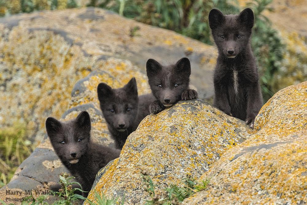 Blue phase Arctic Fox pup(s) (Vulpes lagopus sometimes identified as Vulpes lagopus pribilofensis) Saint Paul Island in Bering Sea Alaska