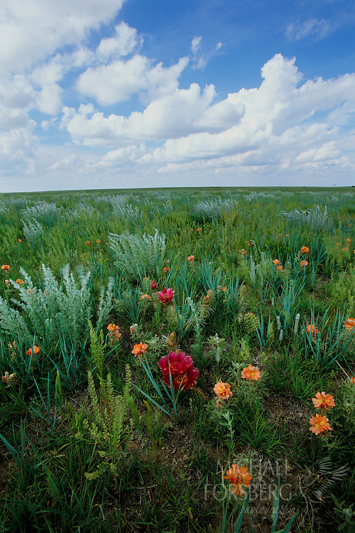 Shortgrass prairie wildflower bloom. Kimball County, Nebraska Panhandle.