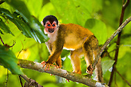Black-crowned Central American Squirrel Monkey (Saimiri oerstedii oerstedii)<br /> COSTA RICA<br /> Corcovado National Park<br /> Sirena Biological Station<br /> 3-15.Jan.2008<br /> J.C. Abbott #2353