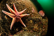 Yellow Sun star (Solaster endeca), Atlantic Ocean, Strømsholmen, North West Norway |  Atlantischer Ozean, Strømsholmen, Nordwestküste von Norwegen
