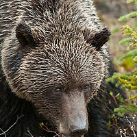 grizzly bear boar, grizzly bear full frame, grizzly bear head shot, grizzly bear portrait