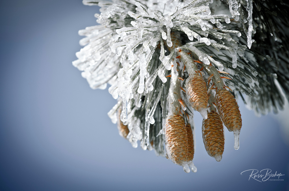 Rime ice on pine cones and needles, San Bernardino National Forest, California USA
