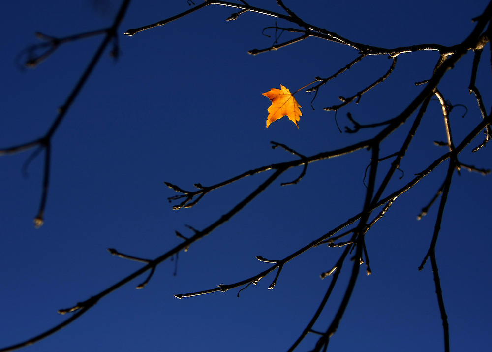 White Plains, NY / 2007 - Autumn maple leaf. (Mike Roy / The Journal News )