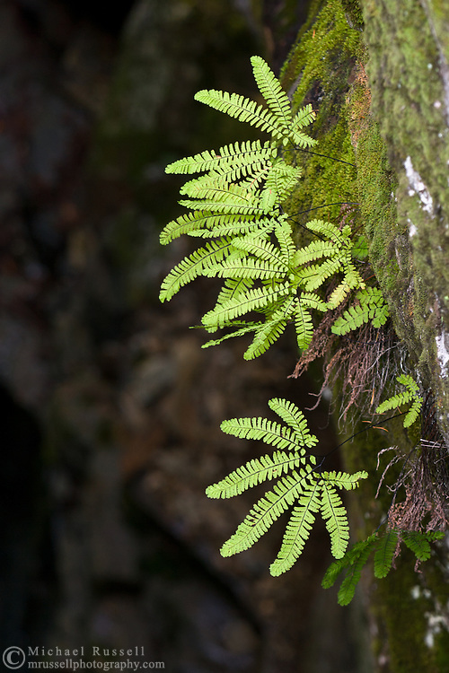 Maidenhair Ferns (Adiantum pedatum) grows on the side of Box Canyon on the Muddy Fork of the Cowlitz River, Mount Rainier National Park, Washington State, USA