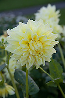 Yellow Dahlia flowers, Ballycoolin Yellow variety,  growing in an Irish garden