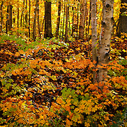 """""""Light of the Forest""""<br /> <br /> Warm autumn colors and sunlight streaming through the forest!!<br /> <br /> Autumn Landscapes by Rachel Cohen"""