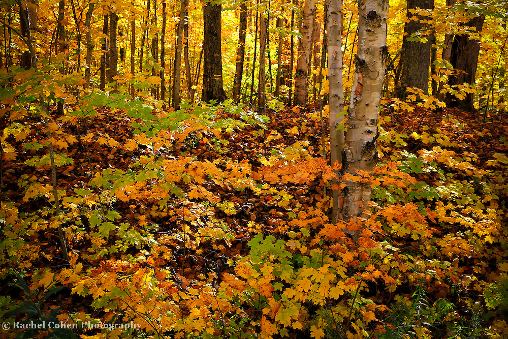 &quot;Light of the Forest&quot;<br />