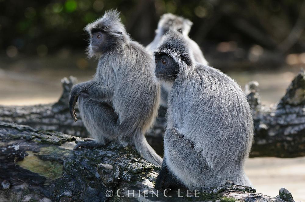 Silvered Leaf Monkey (Trachypithecus cristatus)