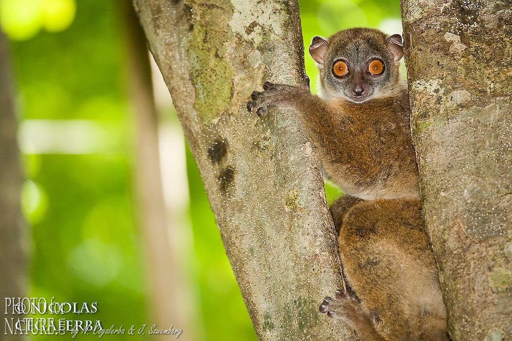 Statut IUCN : Endangered