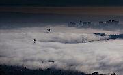 A young eagle flies over a fog bank covering the area in a view from Cypress Mountain in West Vancouver, BC. (2014)