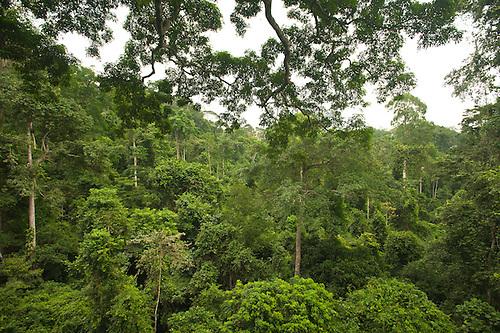 Tropical rainforest canopy Kakum National Park Ghana. & 018837-01.jpg | Frans Lanting / Lanting.com