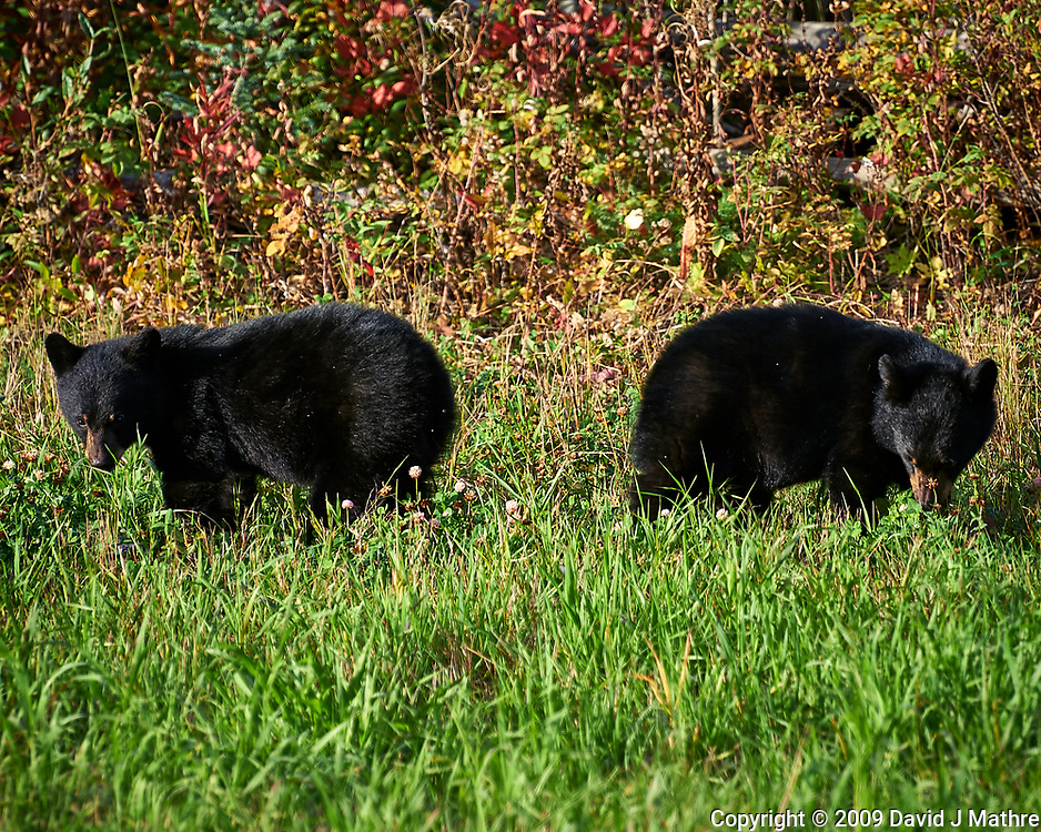 Pair of  Black Bear cubs alongside the Alaska-Canada Highway. Image taken with a Nikon D700 camera and 70-300 mm f/4 lens (ISO 200, 300 mm, f/7, 1/200 sec).