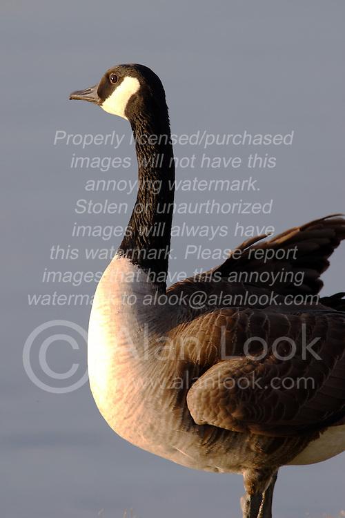 09 April 2005<br /> <br /> Comlara Park, McLean County, Il<br /> <br /> goose (Photo by Alan Look)