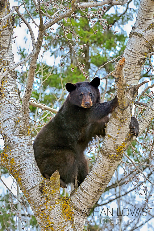 Black Bear (ursus Americanus) Sitting In Tree Eating New Leaf Buds; Perham, Minnesota.