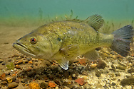 Largemouth Bass (male guarding nest of eggs)<br /> <br /> Engbretson Underwater Photo