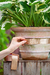 Applying copper tape to a terracotta container to protect a hosta from slugs and snails