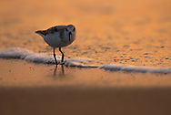 A sanderling (Calidris alba) searching the shoreline at dawn for food.