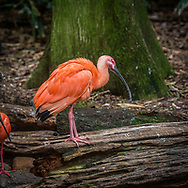 The scarlet ibis is a species of ibis in the bird family Threskiornithidae. It inhabits tropical South America, Florida and islands of the Caribbean. In form it resembles most of the other twenty-seven extant species of ibis, but its remarkably brilliant scarlet coloration makes it unmistakable.