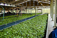 Indonesia, Java, Cisarua. This factory process the tea from its own plantation. Tea waiting to be processed.