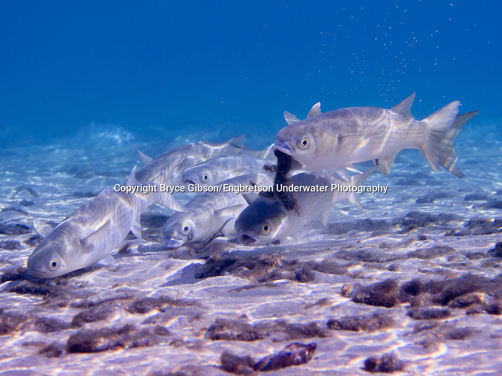 Striped Mullet<br /> <br /> Bryce Gibson/Engbretson Underwater Photography
