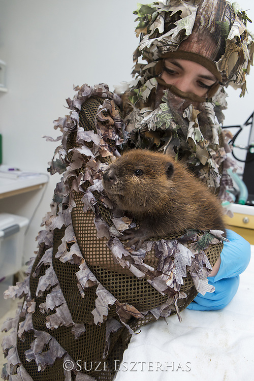 North American Beaver<br /> Castor canadensis<br /> Wildlife Rehabilitator, Jessie Lazaris holding one-month-old orphaned kit<br /> Sarvey Wildlife Care Center,  Arlington, Washington<br /> *Model release available