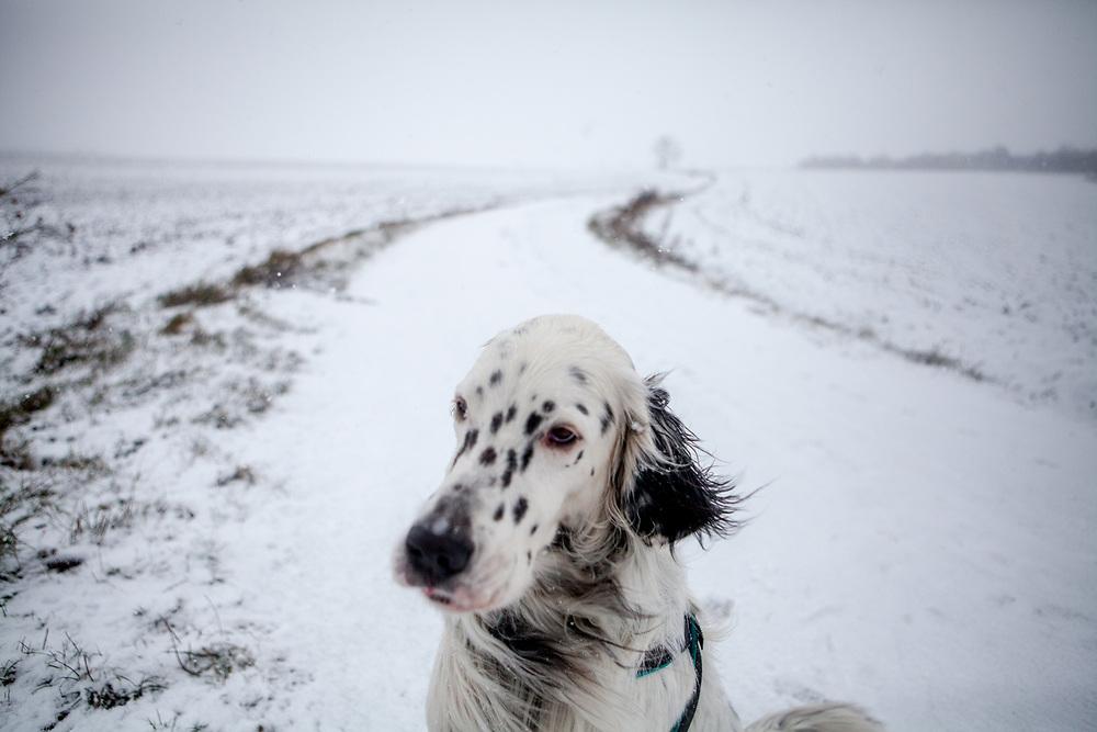 """English Setter """"Rudy"""" sitzt am 03.01. 2019 im ersten Schnee des Jahres im Feld von Lysa nad Labem, (Tschechische Republik).  Rudy wurde Anfang Januar 2017 geboren."""