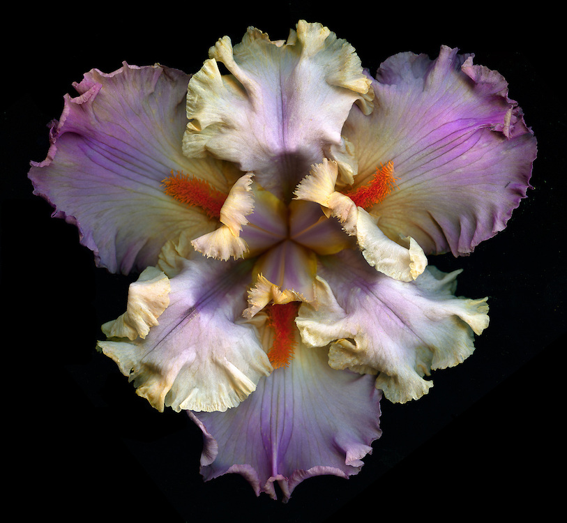 "Tall Bearded Iris ""Val de Loire"" / #VAR309"