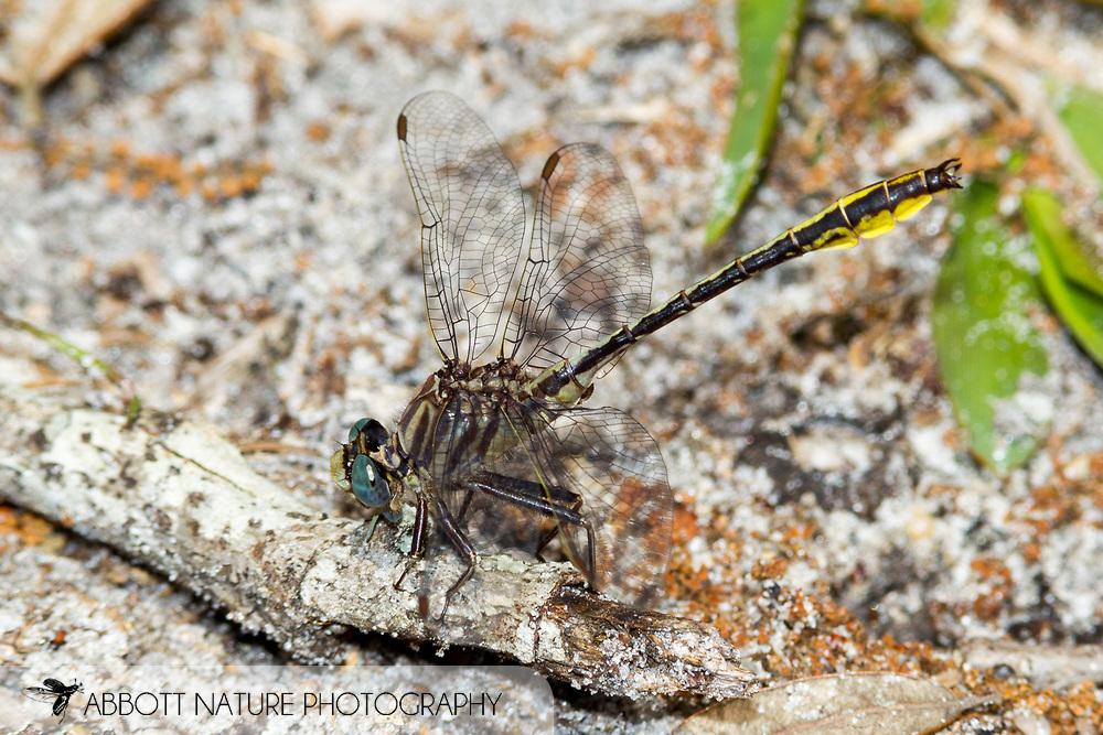Sandhill Clubtail or Brimley's &quot;Sandhill&quot; Clubtail (Phanogomphus cavillaris brimleyi) - male<br /> ALABAMA: Covington Co.<br /> Open Pond Recreation Area; Conecuh National Forest<br /> off Forest Rd. 28<br /> 19-April-2016<br /> J.C. Abbott #2797 &amp; K.K. Abbott
