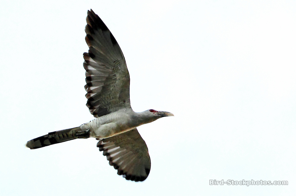 Channel-billed Cuckoo, Scythrops novaehollandiae, in flight, Papua New Guinea, by Markus Lilje