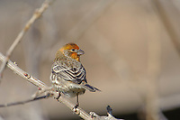 House Finch (Carpodacus mexicanus) -variant coloring - perched in tree,  Healdsburg, California, USA