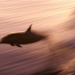 A pacific dolphin jumping in a boat wake over a magenta sunset reflected on the ocean's surface. Pacific Coast, Central America.