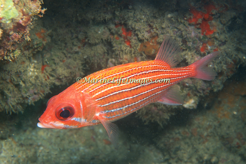 Deepwater Squirrelfish inhabit deep water below 100 ft hiding in small recesses in Tropical West Atlantic; picture taken Venezuela.
