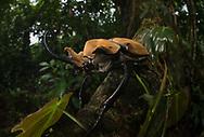 Elephant Beetle (Megasoma elephas), Cocobolo Nature Reserve, Panama