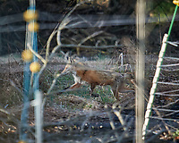 Fox crossing the back section. Image taken with a Nikon D5 camera and 600 mm f/4 VR lens (ISO 640, 600 mm, f/4, 1/1250 sec).