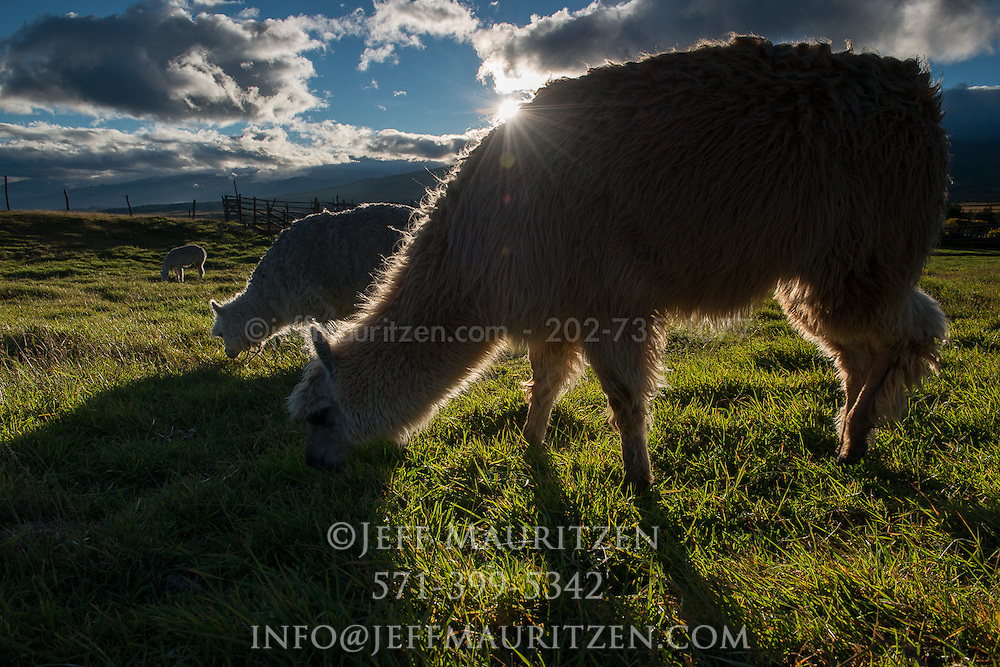 Llamas and alpacas graze at sunrise, high up in the Andes of Ecuador.