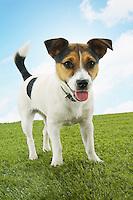 Jack Russell terrier standing