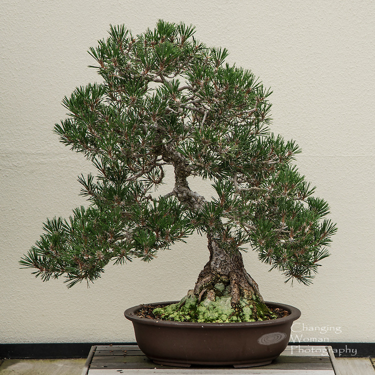 This Japanese Black Pine is part of Longwood Gardens' prestigious collection of bonsai trees.