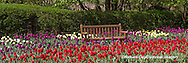 63821-21220 Panoramic of bench in bed of Tulips (Tulipa  'Negrita' purple, 'Strong Gold' yellow,  and 'Cassini' red) at Cantigny Gardens, Wheaton, IL